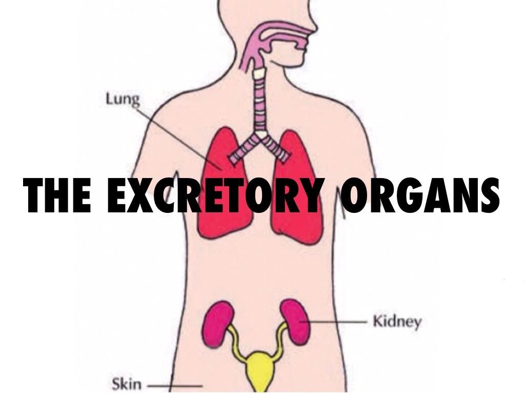 Excretory System By Ethan Chang Infogram