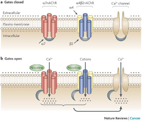 Cell Communication Muscle Contraction By Radhika Gathwala Infogram