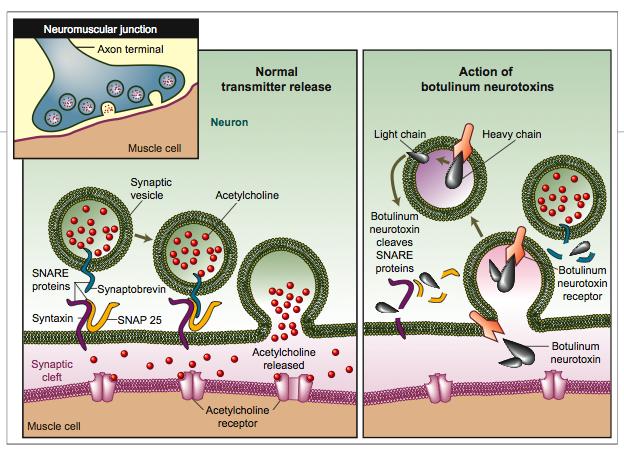 botulinum toxin action