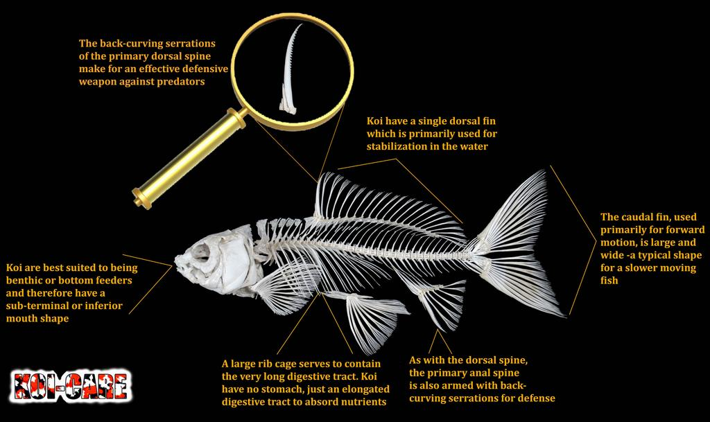 Skeletal anatomy of Koi Fish by koifish pond - Infogram