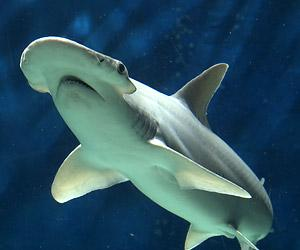 Bonnet head shark asexual reproduction advantages